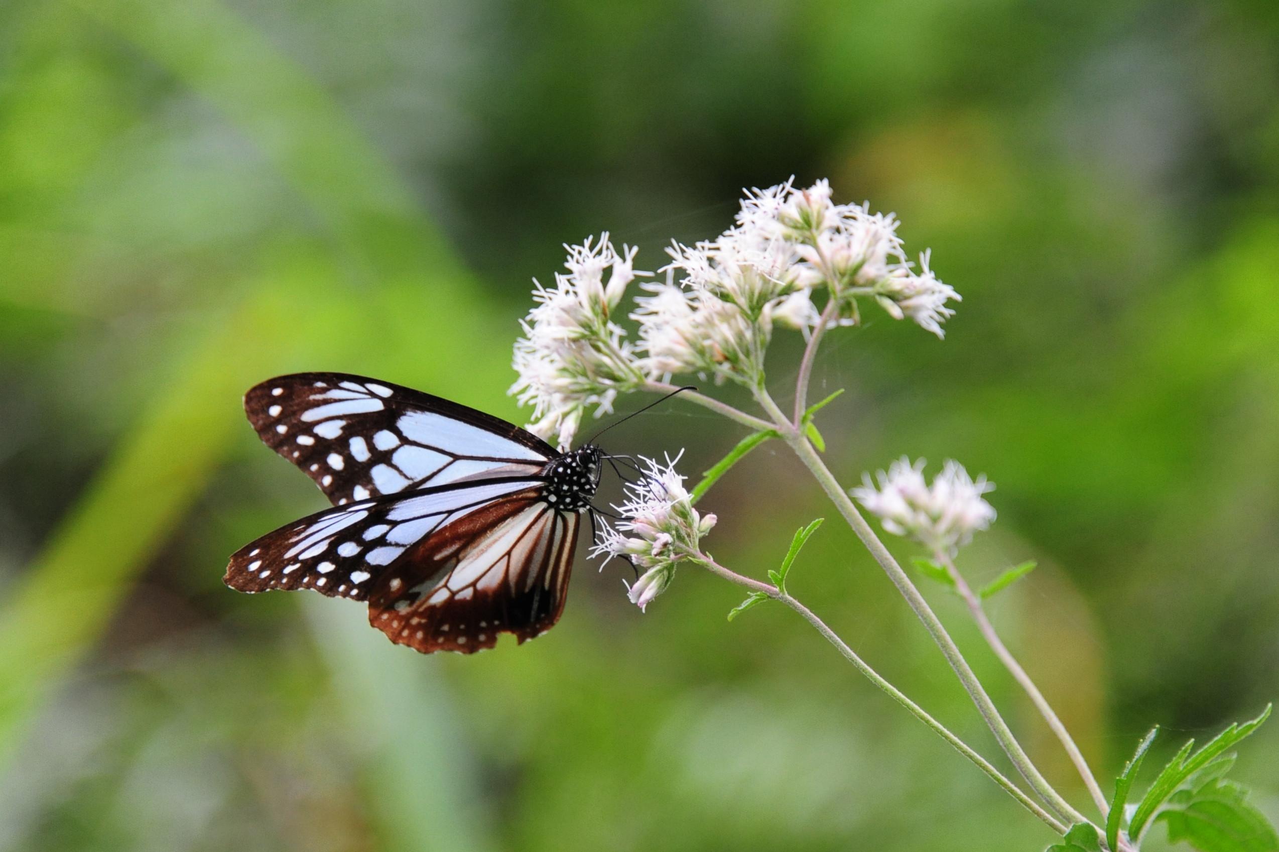 アサギマダラ ~旅する蝶~ | きらら交流館公式サイト